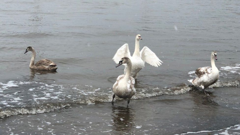 Whitby swans