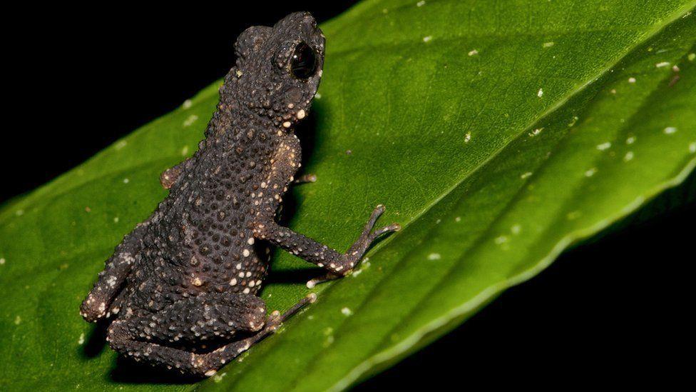 Gollum's toad