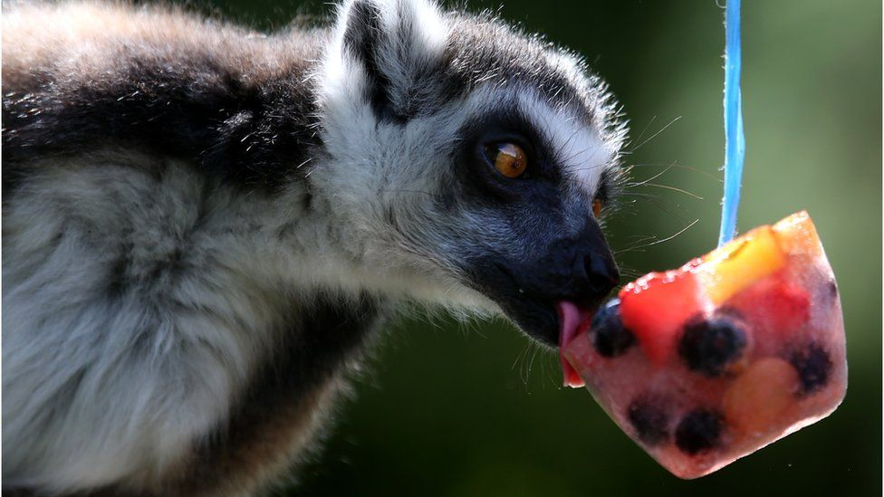 A ring tailed lemur cooled off with a frozen fruit treat in its enclosure at Blair Drummond Safari Park near Stirling