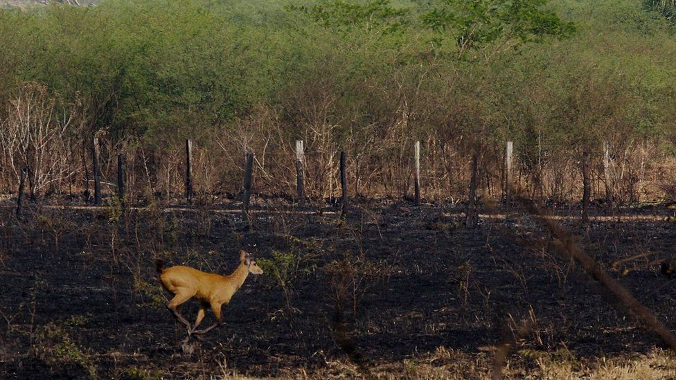 A deer running in a burnt area caused by forest fires at the Pantanal ecoregion of Brazil