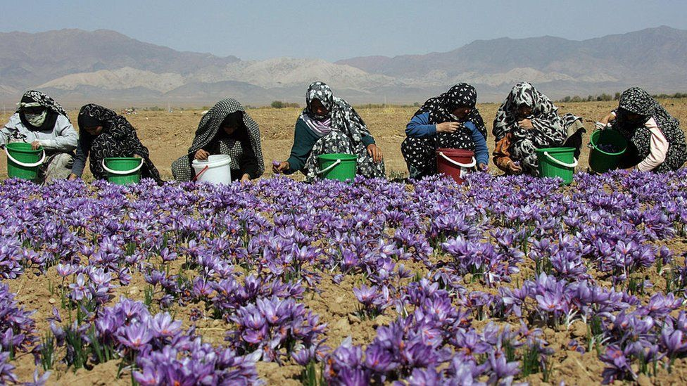 Iranian women harvest crocuses in 2006