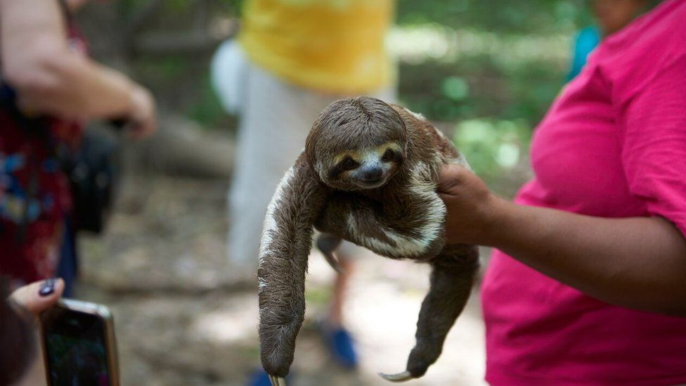 A sloth being held