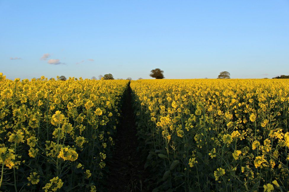 A field of Rapeseed