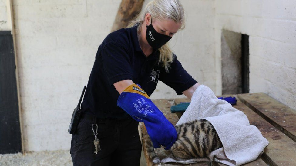 Female cub during health check