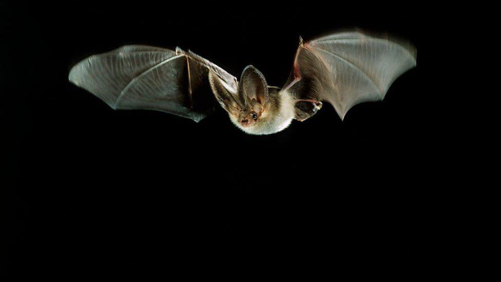 Plecotus Bat