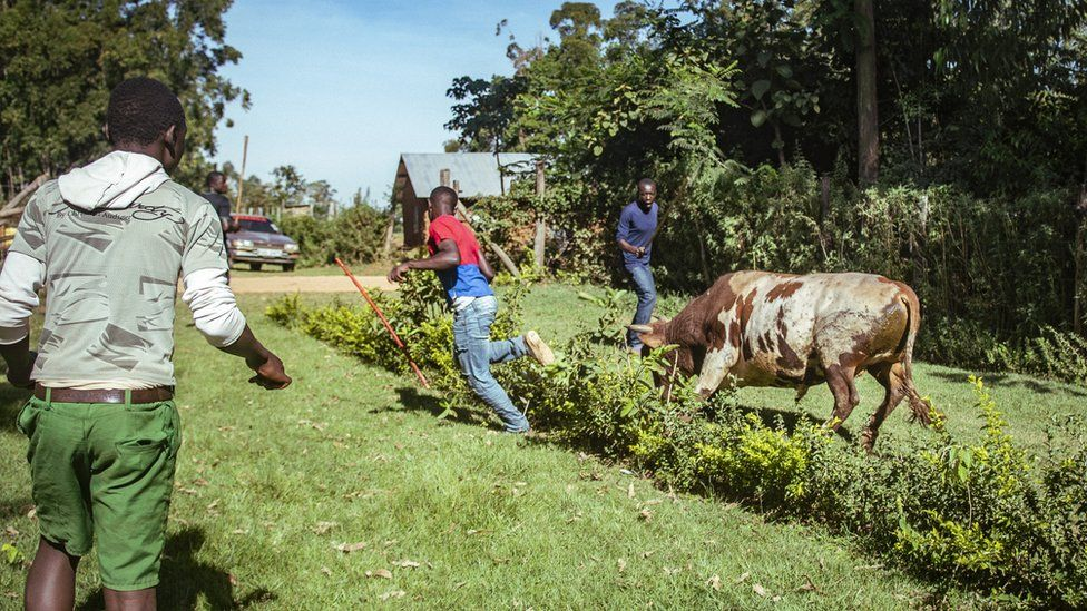 Bull chasing people in western Kenya