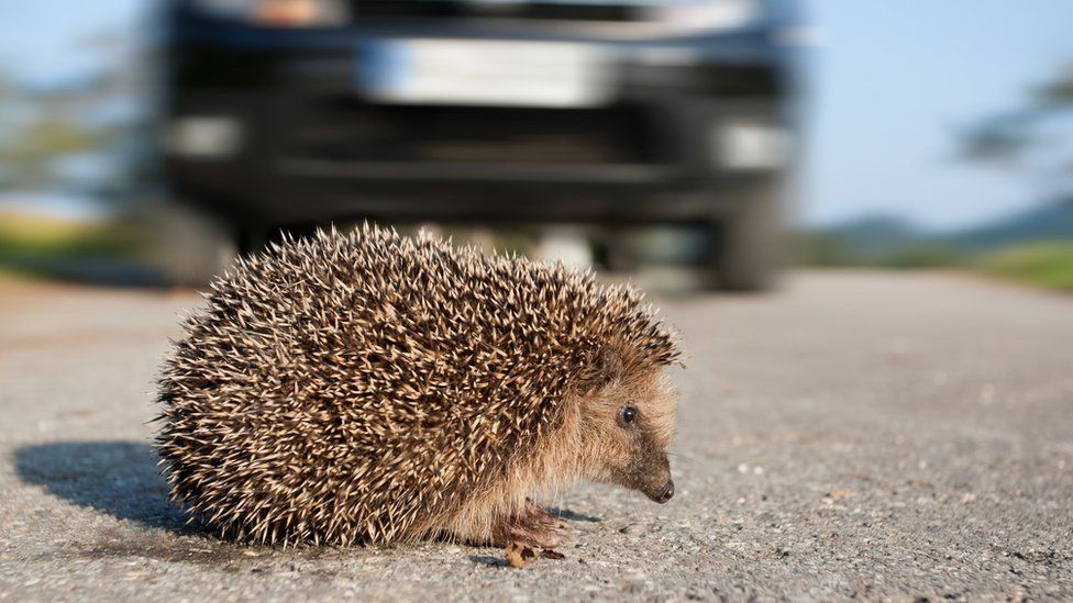 Hedgehog on a road