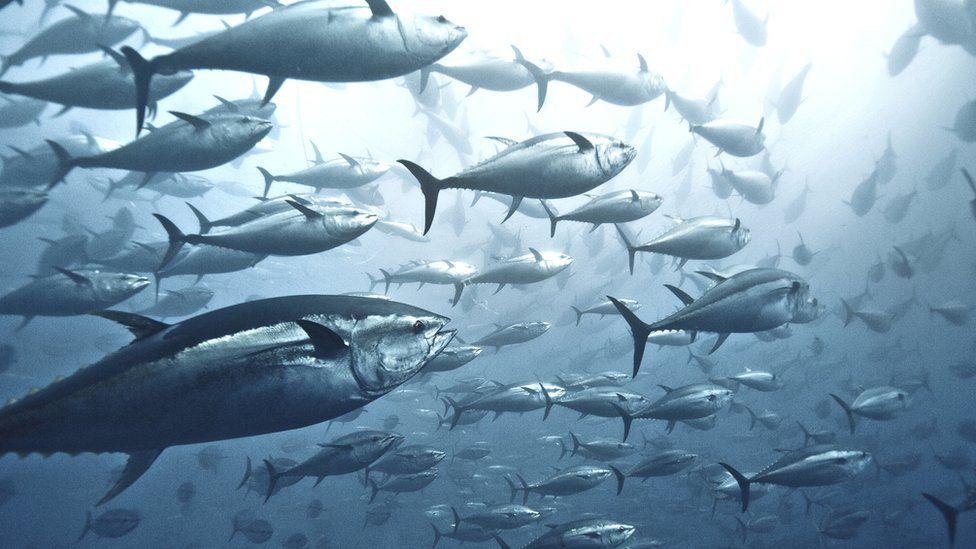 Tuna bounce back, but sharks in 'desperate' decline