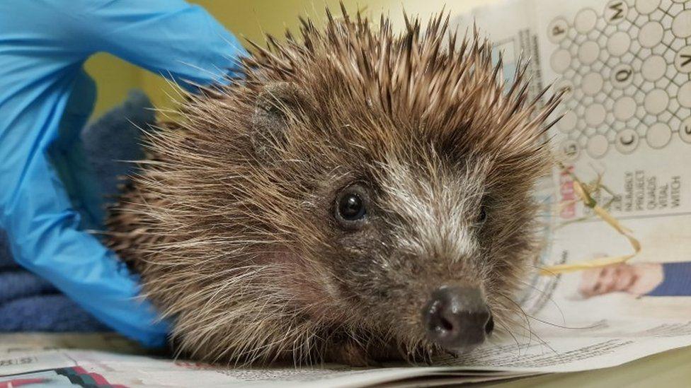 Ratty the hedgehog