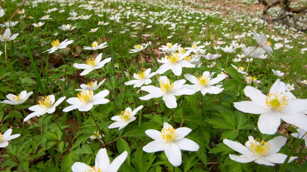 Anemones in Astonbury Wood, Stevenage
