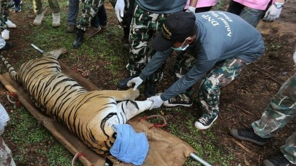 Thai National Park officials move a tiger after it was tranquilised to be moved by Thai National Park officials from the Tiger Temple in Kanchanaburi province (03 June 2016)