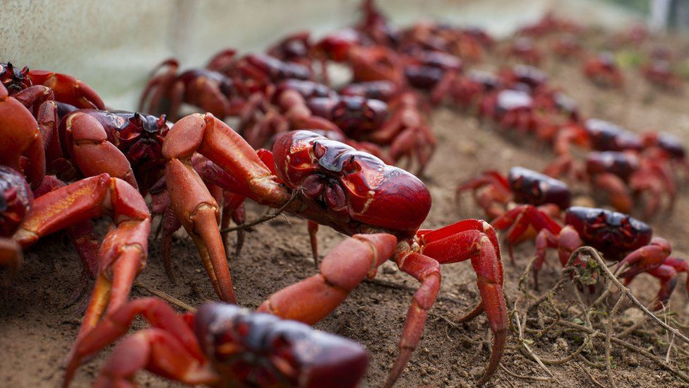 Red crabs on Planet Earth II