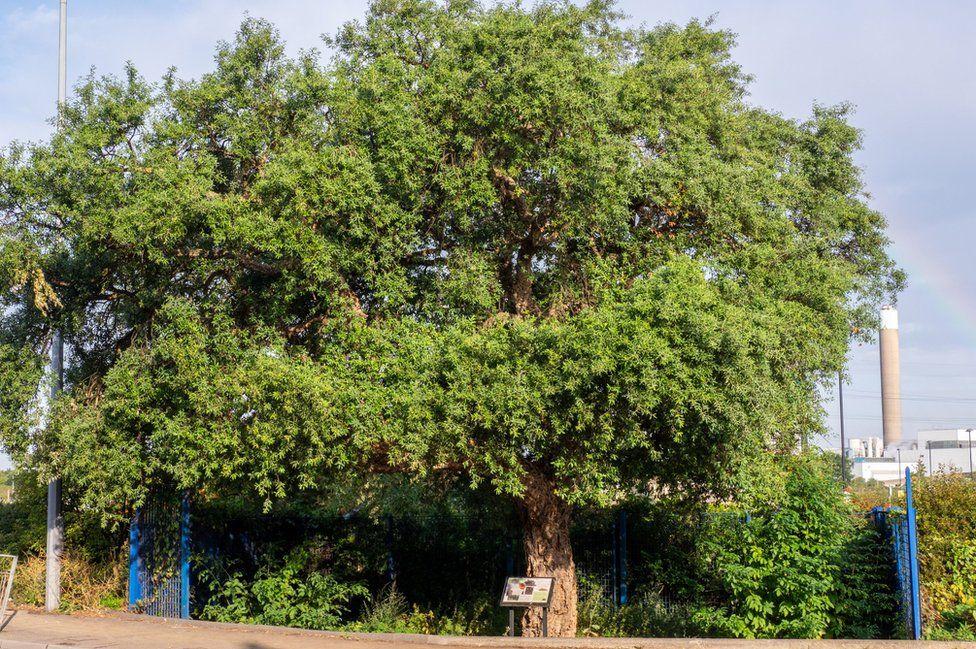 North circular oak