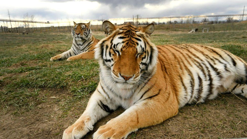 Big cats: US senators seek ban on private ownership of lions and tigers thumbnail