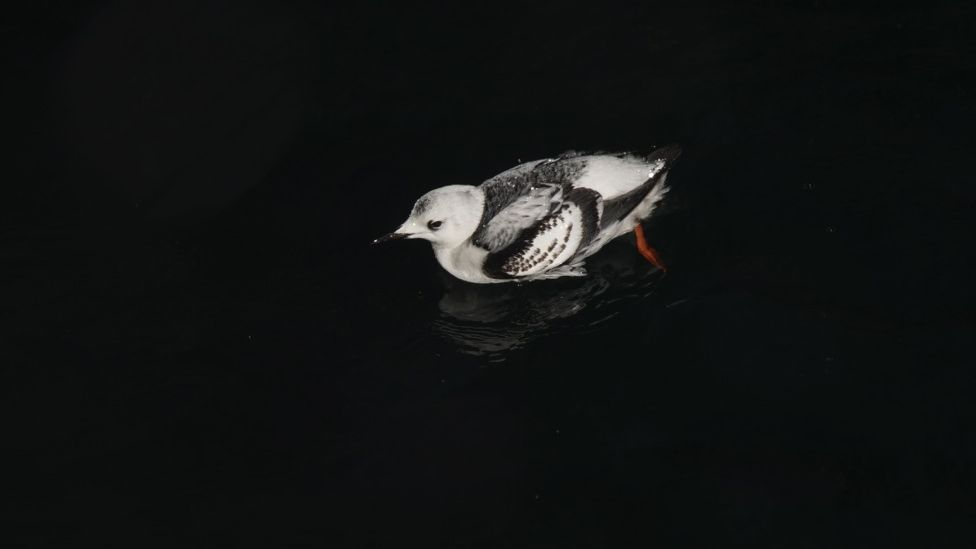 Black guillemot on water surface
