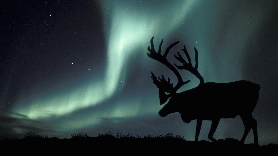 Caribou in Alaska (c) SPL