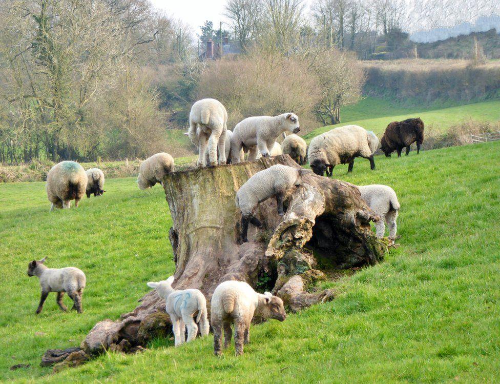 Lambs climbing a dead tree stump