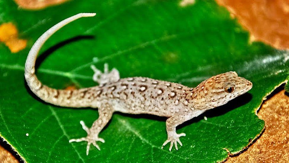 Qué es la evolución rápida y cómo transformó en forma sorprendente a unos pequeños reptiles sudamericanos (y otros animales)