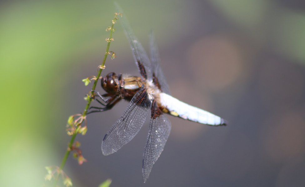 Dragonfly in Wolvercote