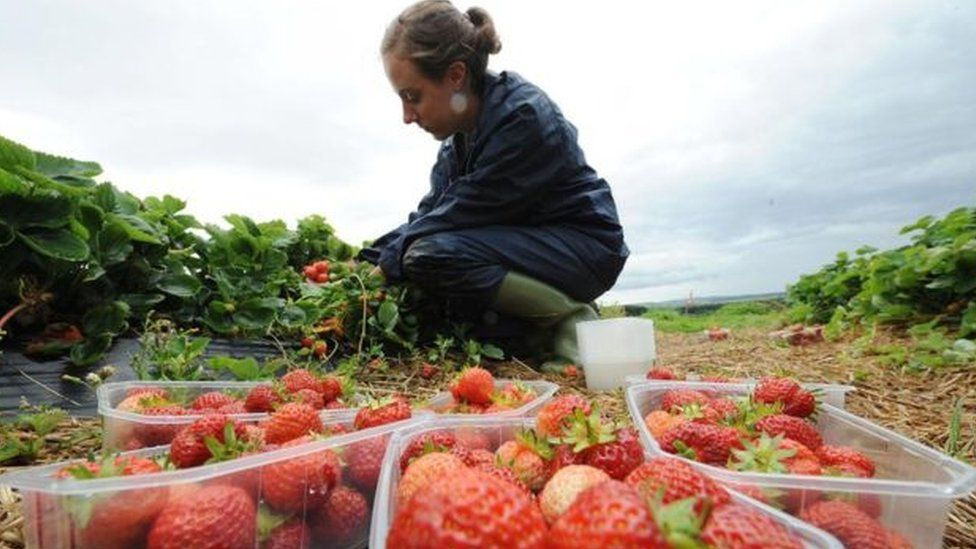 Fruit picker picking strawberries
