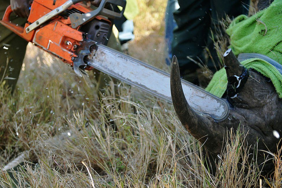 Kenyan rangers and veterinarians remove the horn from a wild black male rhino