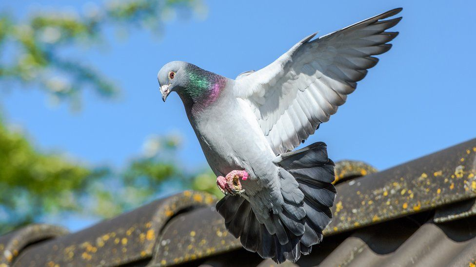 Landing of racing pigeon with wigs spread wide - stock photo