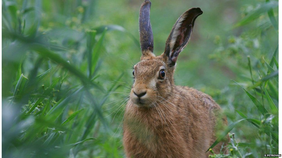 The brown hare is almost a rarity in some part of the UK