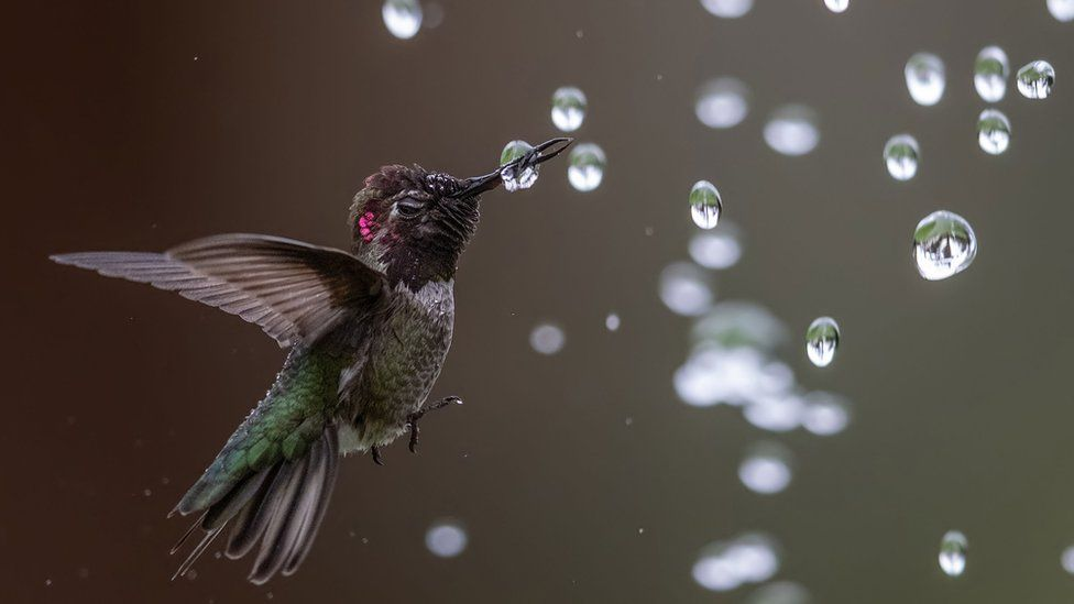 Anna's-Hummingbird.