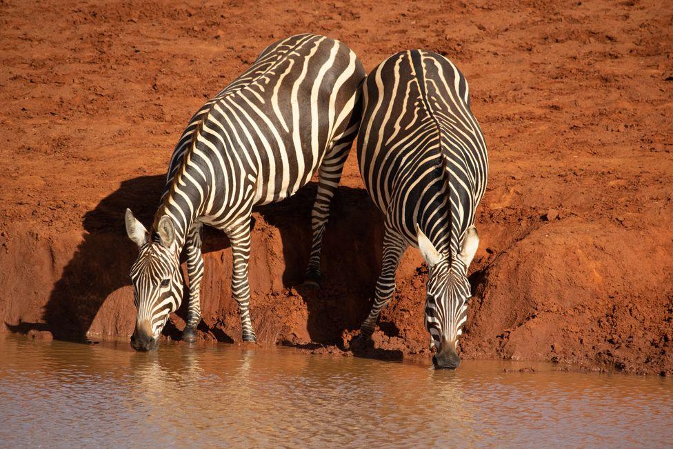 Grévy's zebra at a watering hole, Kenya