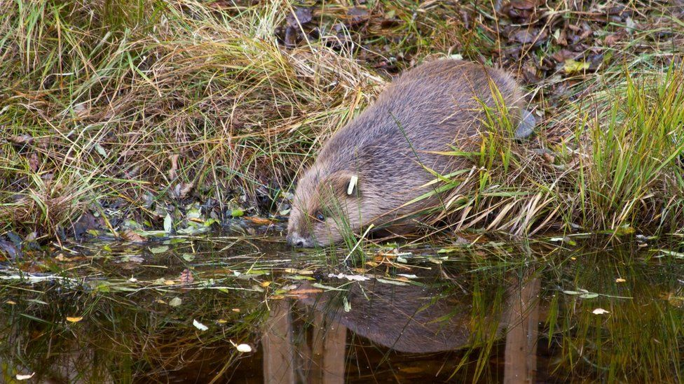Beaver going into the water