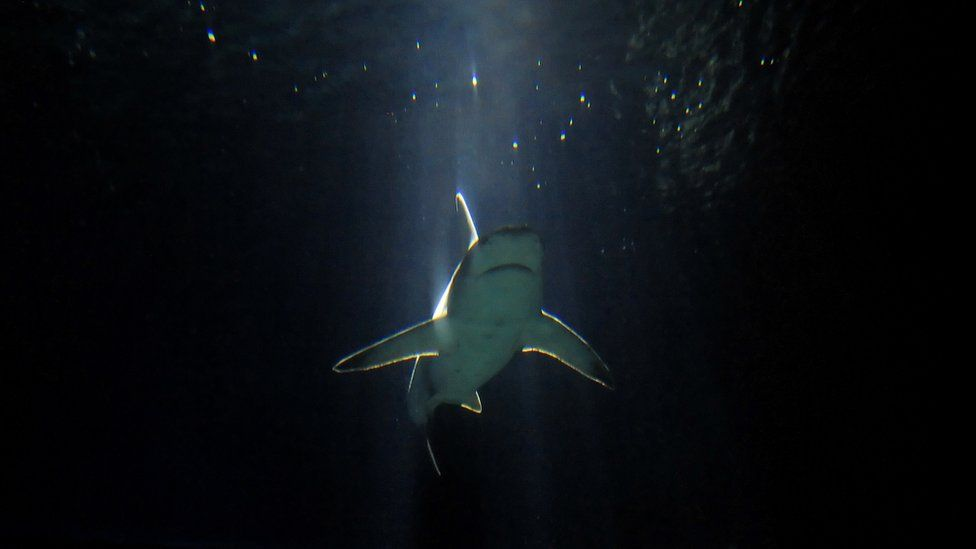 A Reef Shark swims in the Aquarium of Genova on 11 August 2010.