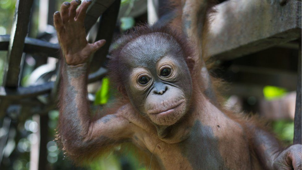 This adorable baby oragutan is learning to climb