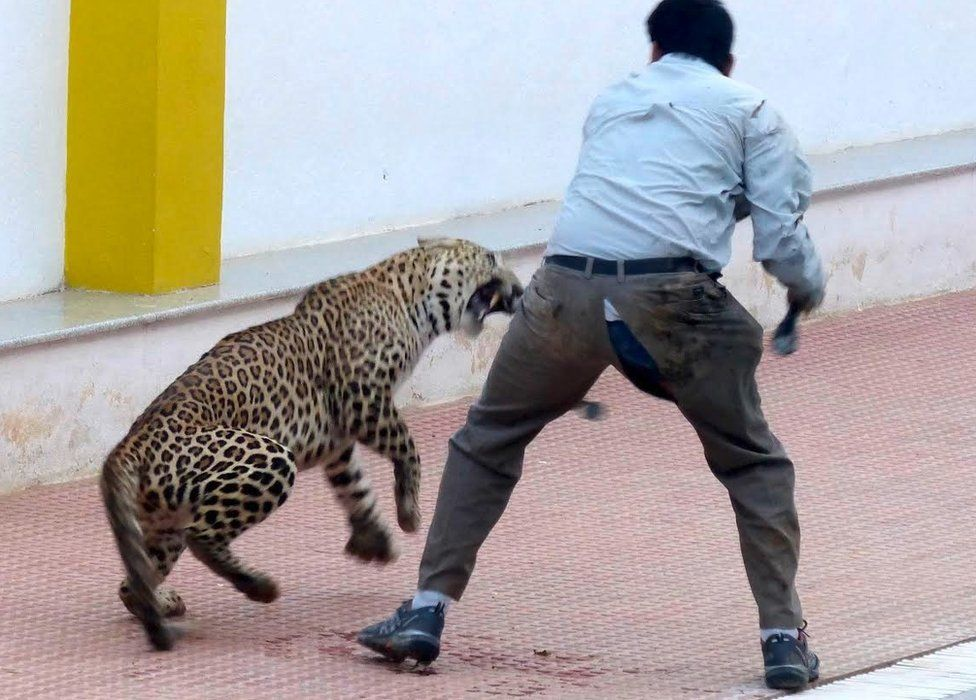 Leopard in school
