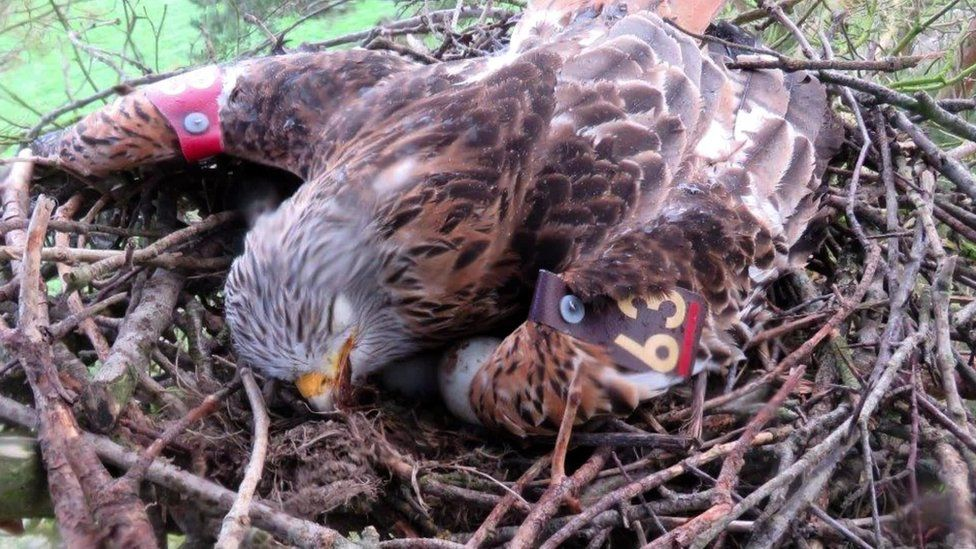 An attempt was made to re-home the eggs from this poisoned Red Kite