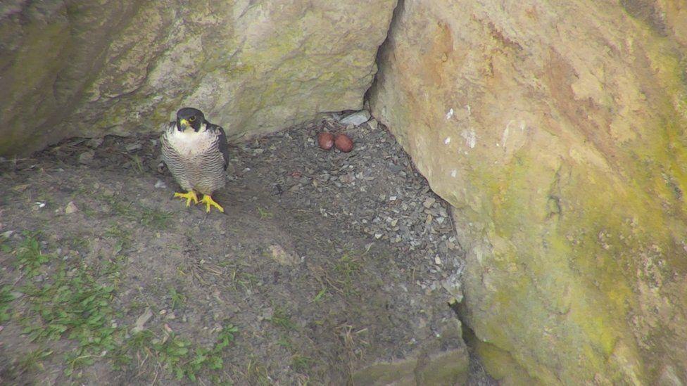 Image of peregrine falcon in 2019