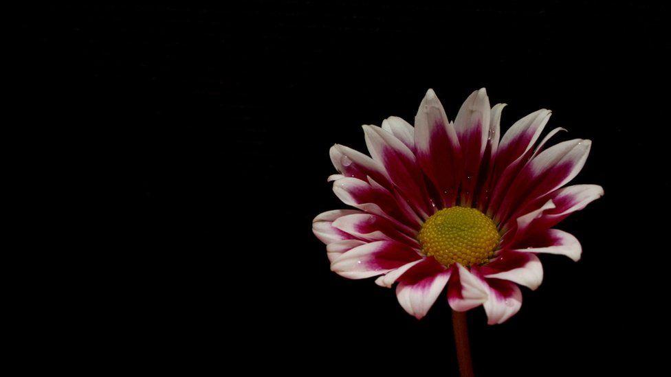 A chrysanthemum