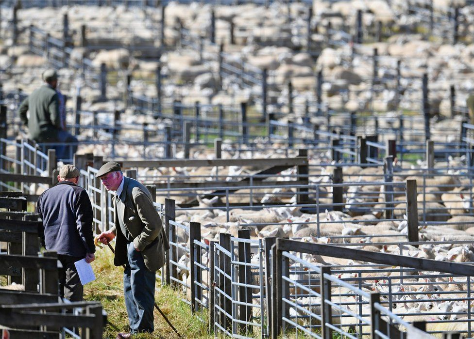 Lairg sheep sales
