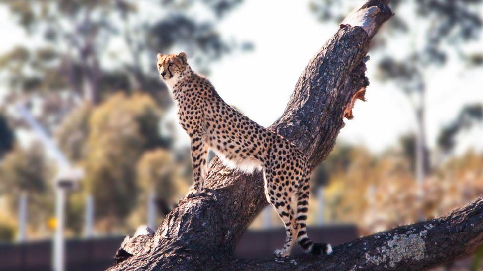 A cheetah on a log at Sydney Zoo