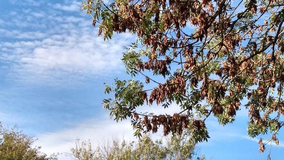 Tree with ash dieback disease