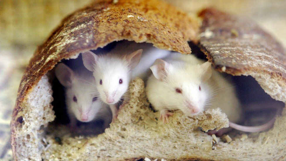 Mice eating through a loaf of bread