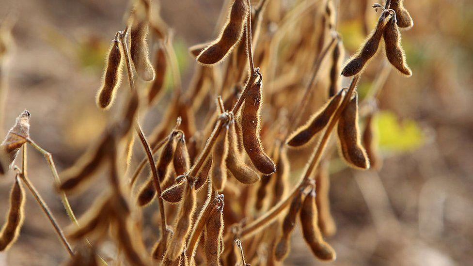 Soya beans growing