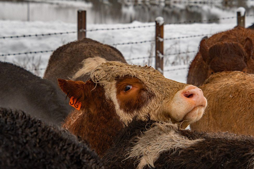 Cattle at Glanderston Dam, Barrhead