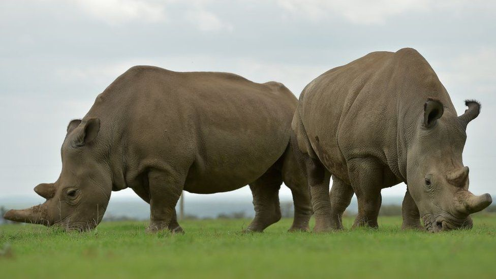 Najin (L) and Fatu, the only two remaining female northern white rhinos