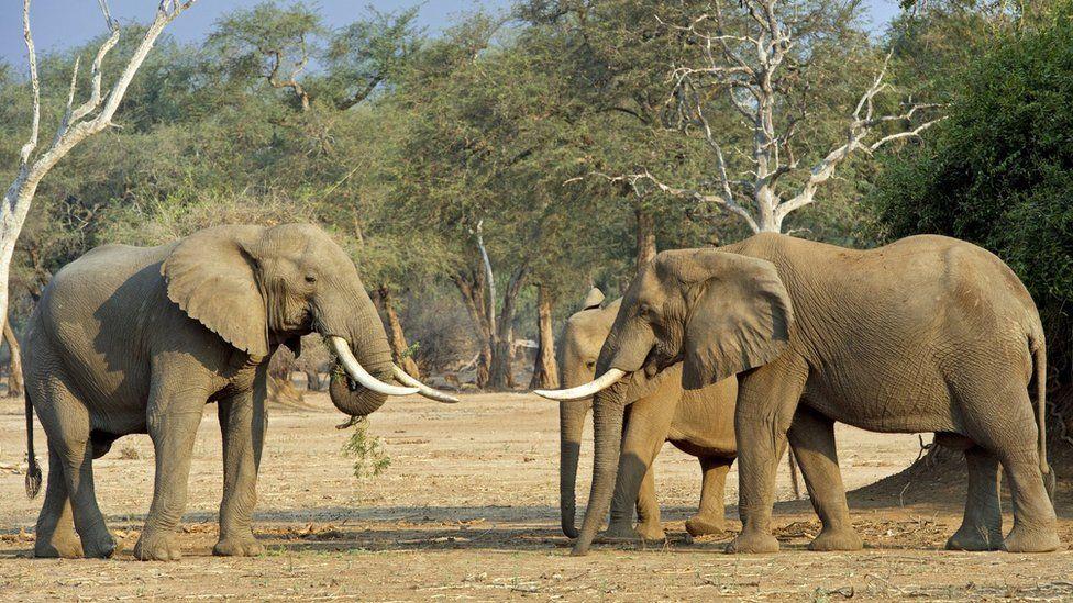 Elephants in Mana Pools (file photo)