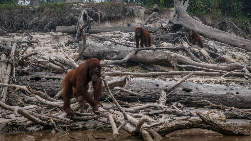 Borneo orangutans (Pongo pygmaeus) are seen in Salat island