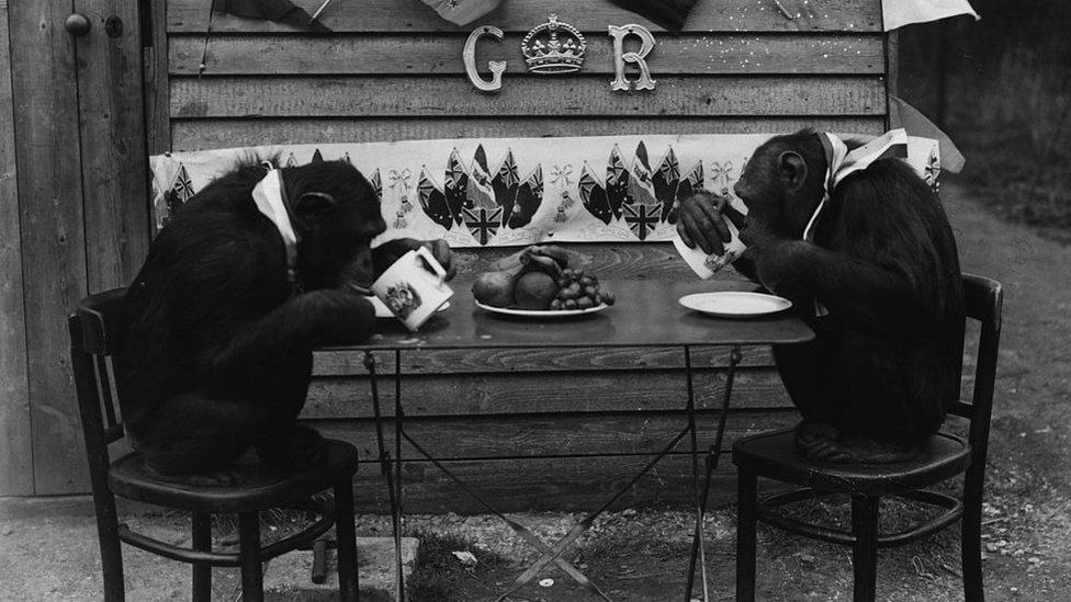 """Two chimpanzees at a """"tea party"""" at Whipsnade Zoo in April 1937"""