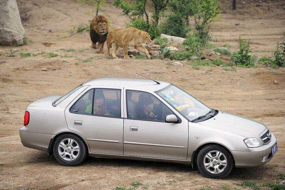 In a picture taken on 2 June 2010 Chinese visitors sit in their car as they admire lions at the Badaling park near China's Great Wall outside Beijing.