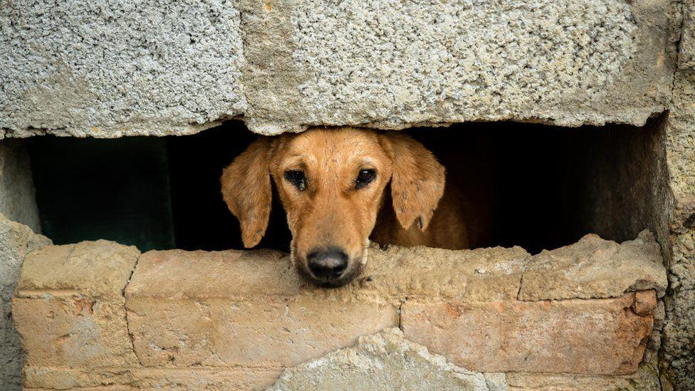 Bangalore dog