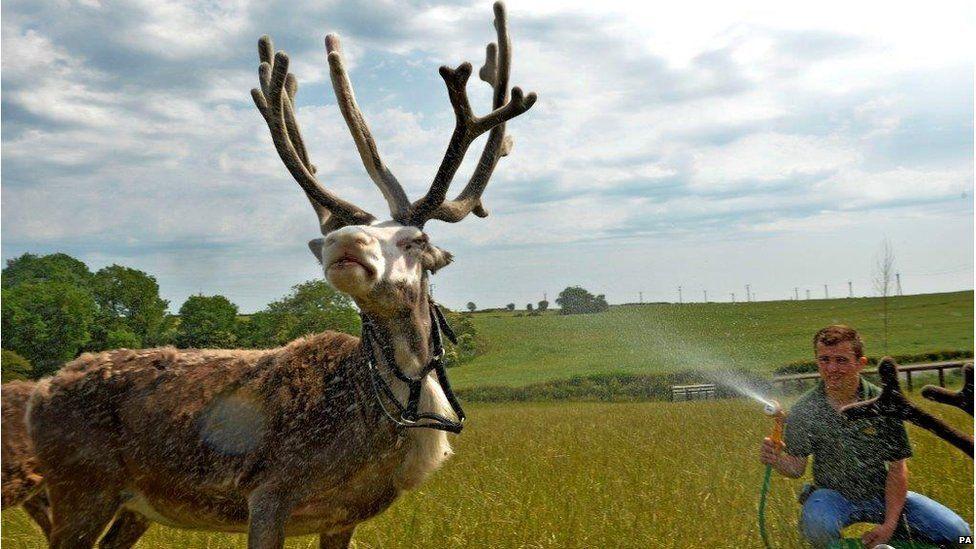 Reindeer being hosed