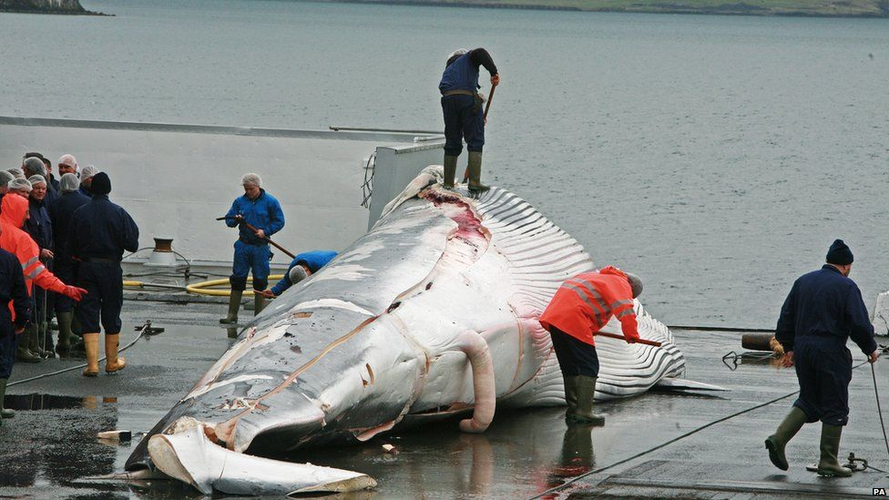 Whales are killed on commercial hunts by a variety of methods.